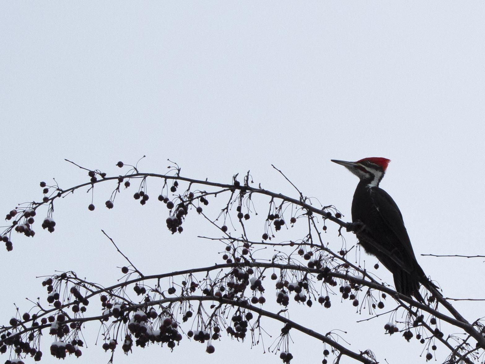 piletaedpecker_1