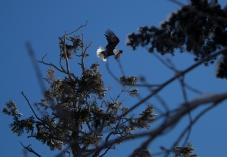eagleleavingtree_2
