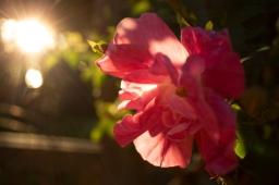 pinkflorasunkissedbckyrd_rad
