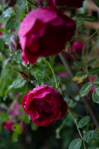 roseradness_1